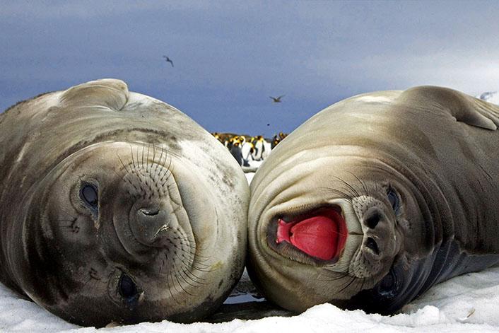 Морские слоны фотографии (лат. Mirounga) - самые красивые картинки 14