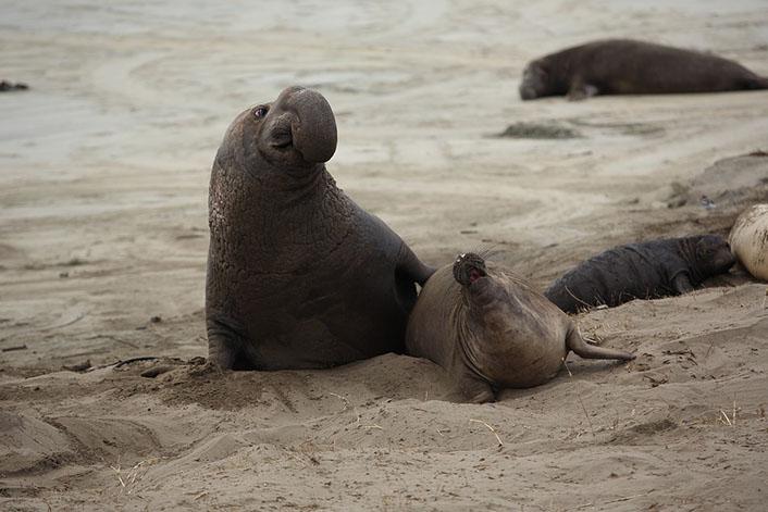Морские слоны фотографии (лат. Mirounga) - самые красивые картинки 7