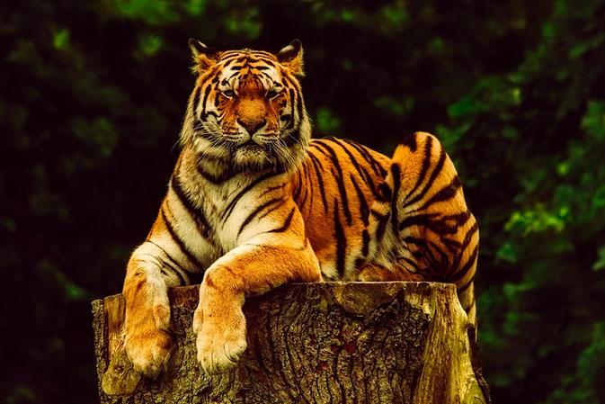 Тигры фото животных, самые необычные и удивительные картинки 10