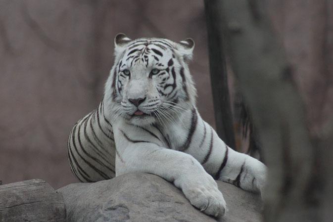 Тигры фото животных, самые необычные и удивительные картинки 11