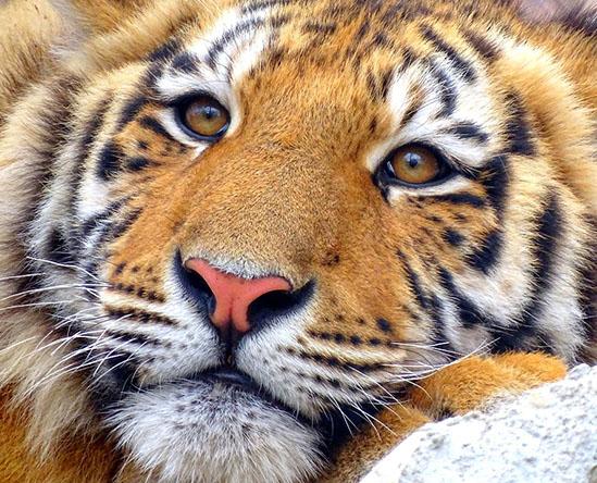 Тигры фото животных, самые необычные и удивительные картинки 12