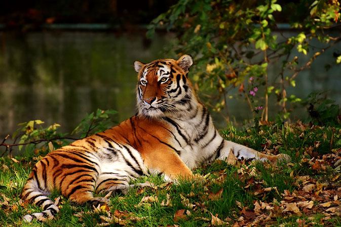 Тигры фото животных, самые необычные и удивительные картинки 13