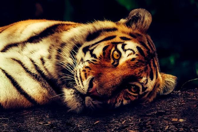 Тигры фото животных, самые необычные и удивительные картинки 14