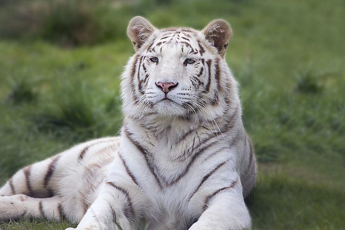 Тигры фото животных, самые необычные и удивительные картинки 16
