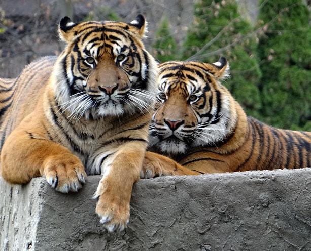 Тигры фото животных, самые необычные и удивительные картинки 18