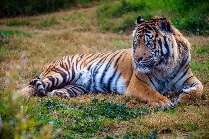 Тигры фото животных, самые необычные и удивительные картинки 22