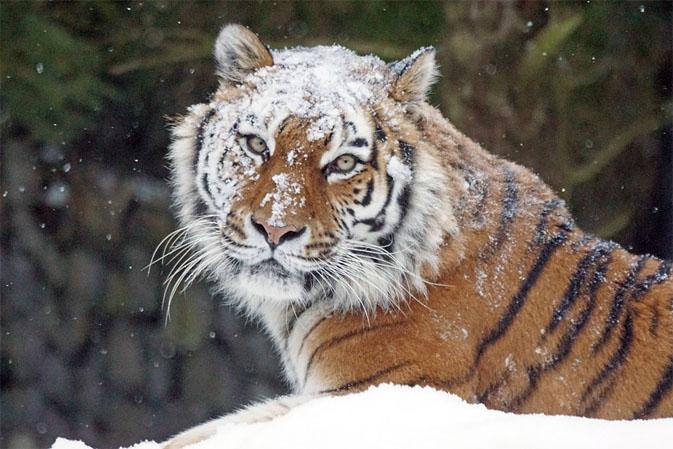 Тигры фото животных, самые необычные и удивительные картинки 26