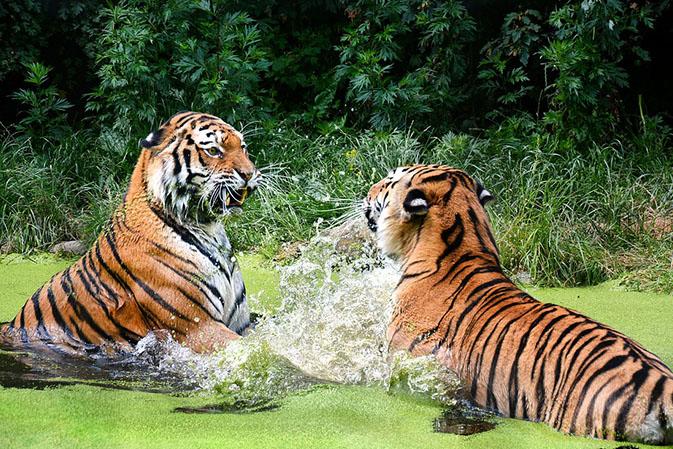 Тигры фото животных, самые необычные и удивительные картинки 29