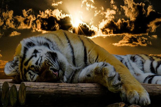 Тигры фото животных, самые необычные и удивительные картинки 3