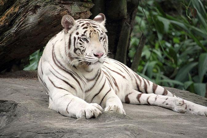 Тигры фото животных, самые необычные и удивительные картинки 30