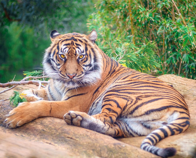 Тигры фото животных, самые необычные и удивительные картинки 32
