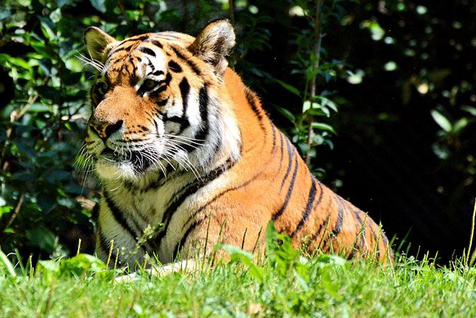 Тигры фото животных, самые необычные и удивительные картинки 6