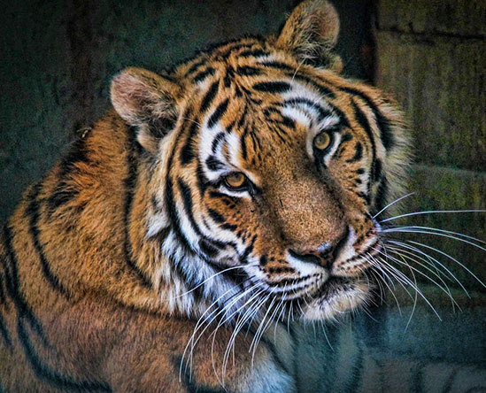 Тигры фото животных, самые необычные и удивительные картинки 9