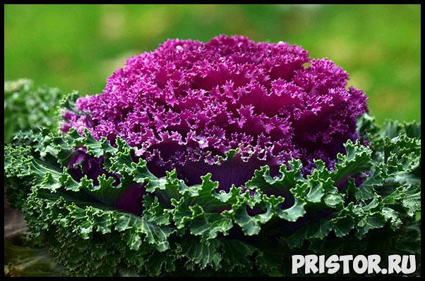 Выращивание декоративной капусты - высадка и уход, рекомендации 1