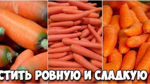 Как вырастить ровную и сладкую морковь - основные советы и способы 1