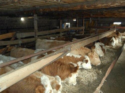 Как откормить бычка на мясо за короткое время - основные советы 1