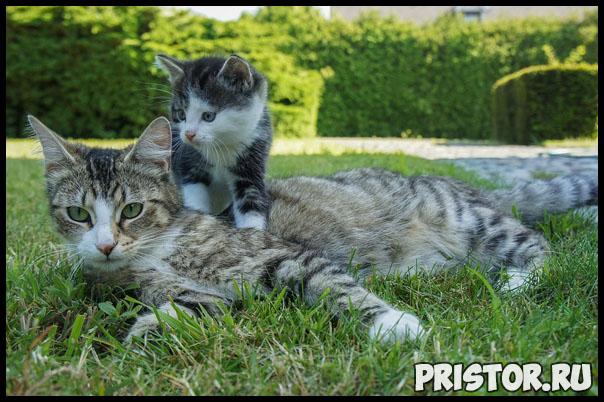 Как подружить взрослого кота с котенком - главные рекомендации 1