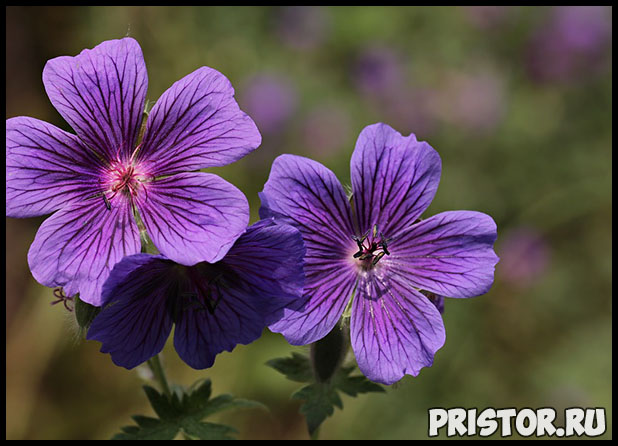 Почему не цветет герань и что делать Как помочь растению, уход 1