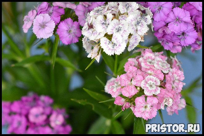Как ухаживать за многолетними гвоздиками в вашем саду - важные советы 1