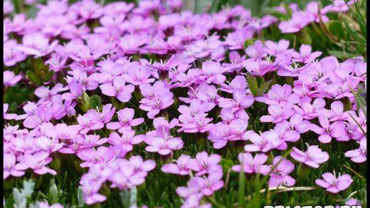Как ухаживать за многолетними гвоздиками в вашем саду - важные советы 2