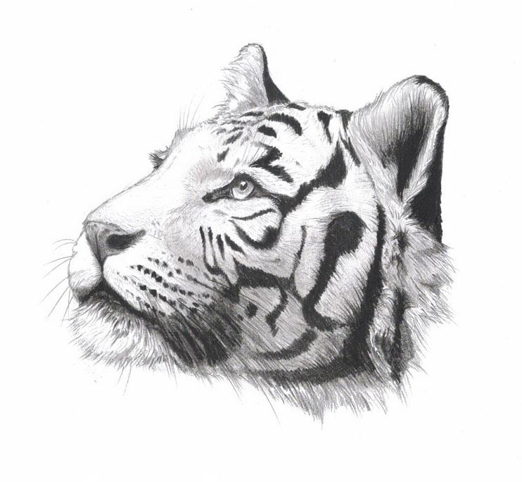 Картинки тигра для срисовки карандашом - красивые и прикольные 10