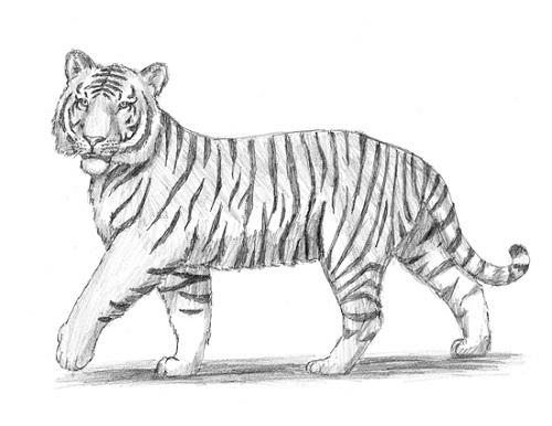 Картинки тигра для срисовки карандашом - красивые и прикольные 5
