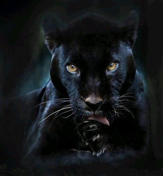 Красивые картинки на аву пантера - самые прикольные и классные 9