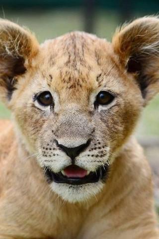 Скачать картинку лев на телефон на главный экран - лучшая сборка 1