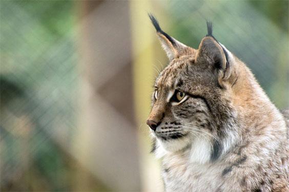 Кошка выкормила детеныша рыси в Уссурийском зоопарке - новости 1