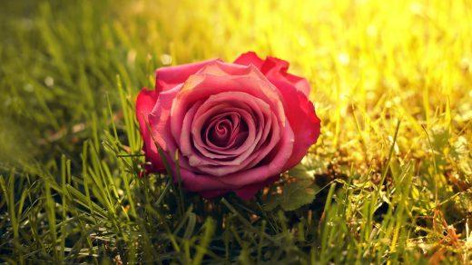 Красивые картинки роз на весь экран на рабочий стол - подборка 1