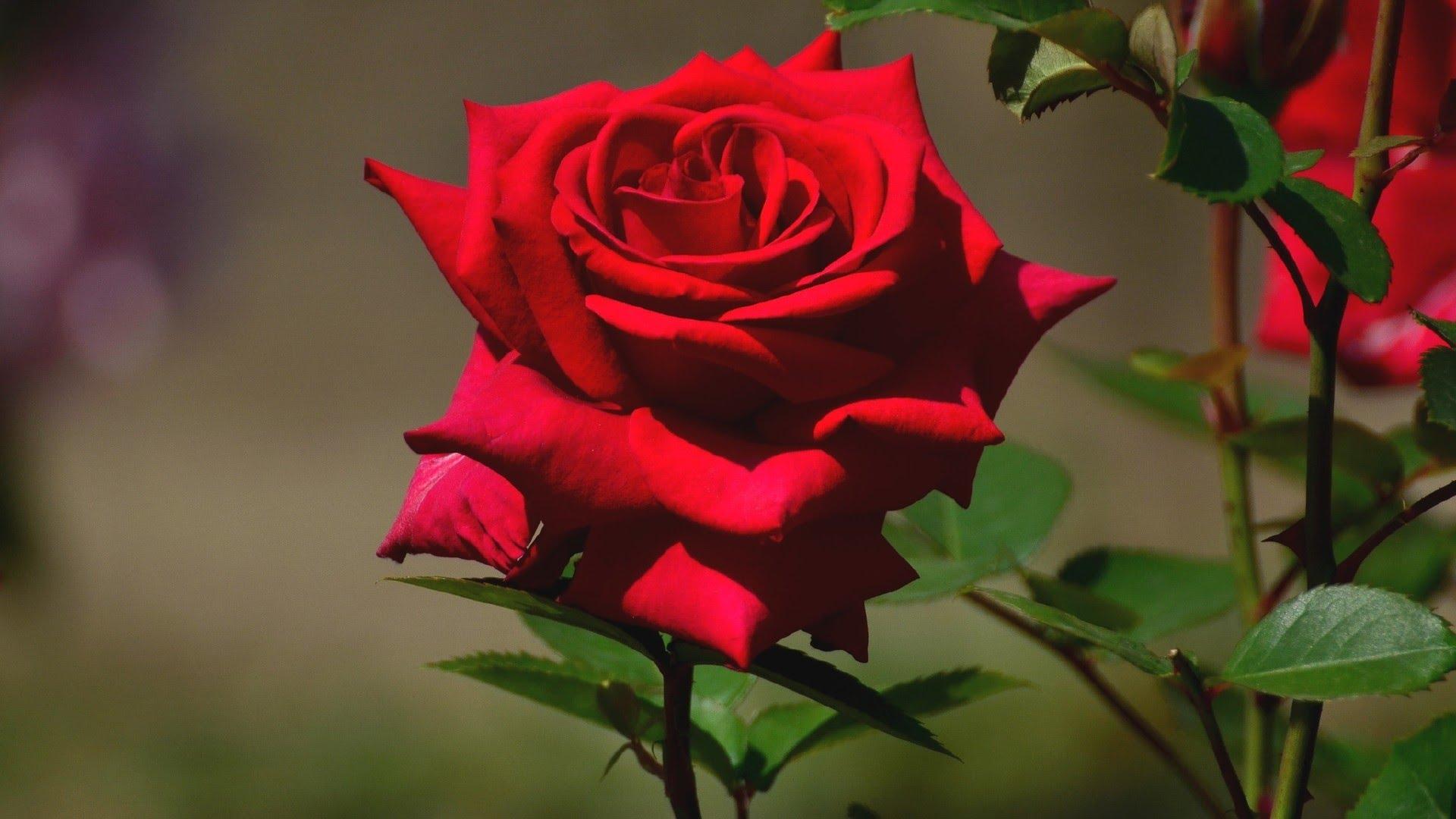 Красивые картинки роз на весь экран на рабочий стол - подборка 15
