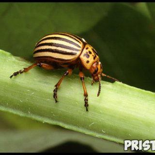 Народные и безопасные методы борьбы с колорадским жуком 1
