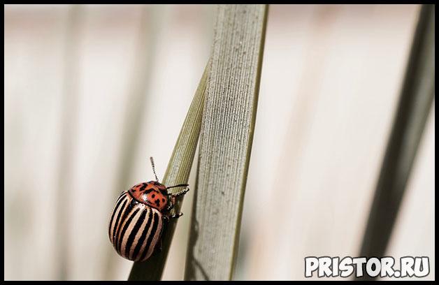 Народные и безопасные методы борьбы с колорадским жуком 2