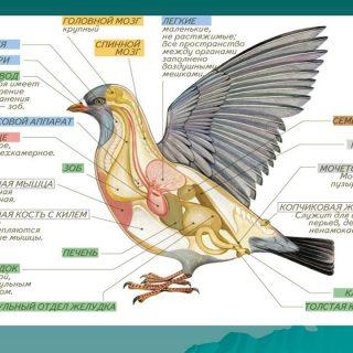 Основные приспособления птиц к полету - признаки и среда обитания 1