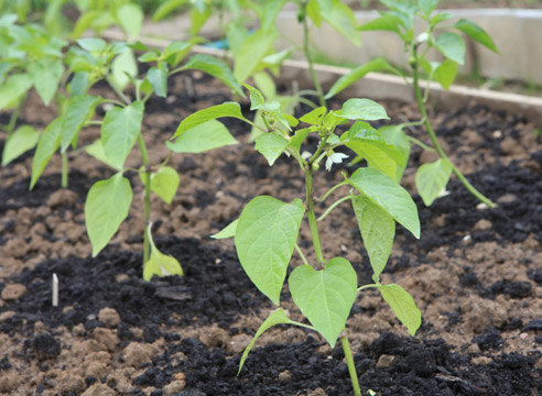 Как правильно поливать перец в теплице, уход за растением 3