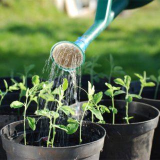 Как правильно поливать перец в теплице, уход за растением 4