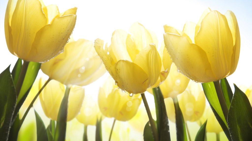 Красивые картинки на рабочий стол тюльпаны - подборка 2