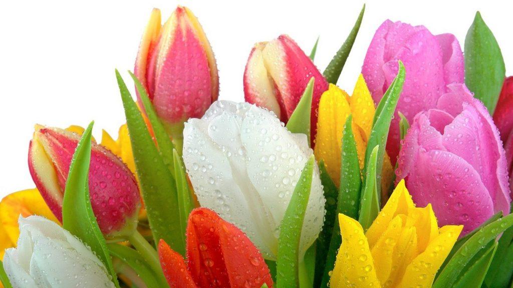 Красивые картинки на рабочий стол тюльпаны - подборка 4