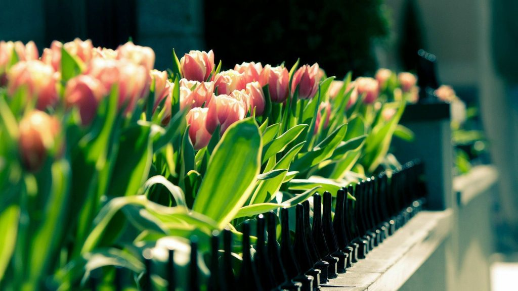 Красивые картинки на рабочий стол тюльпаны - подборка 6