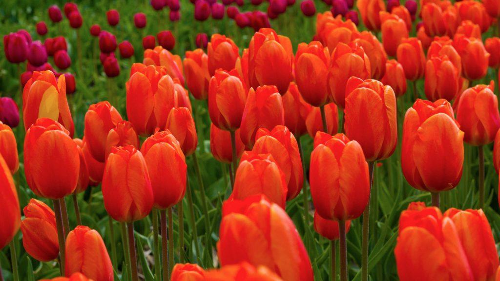 Красивые картинки на рабочий стол тюльпаны - подборка 9