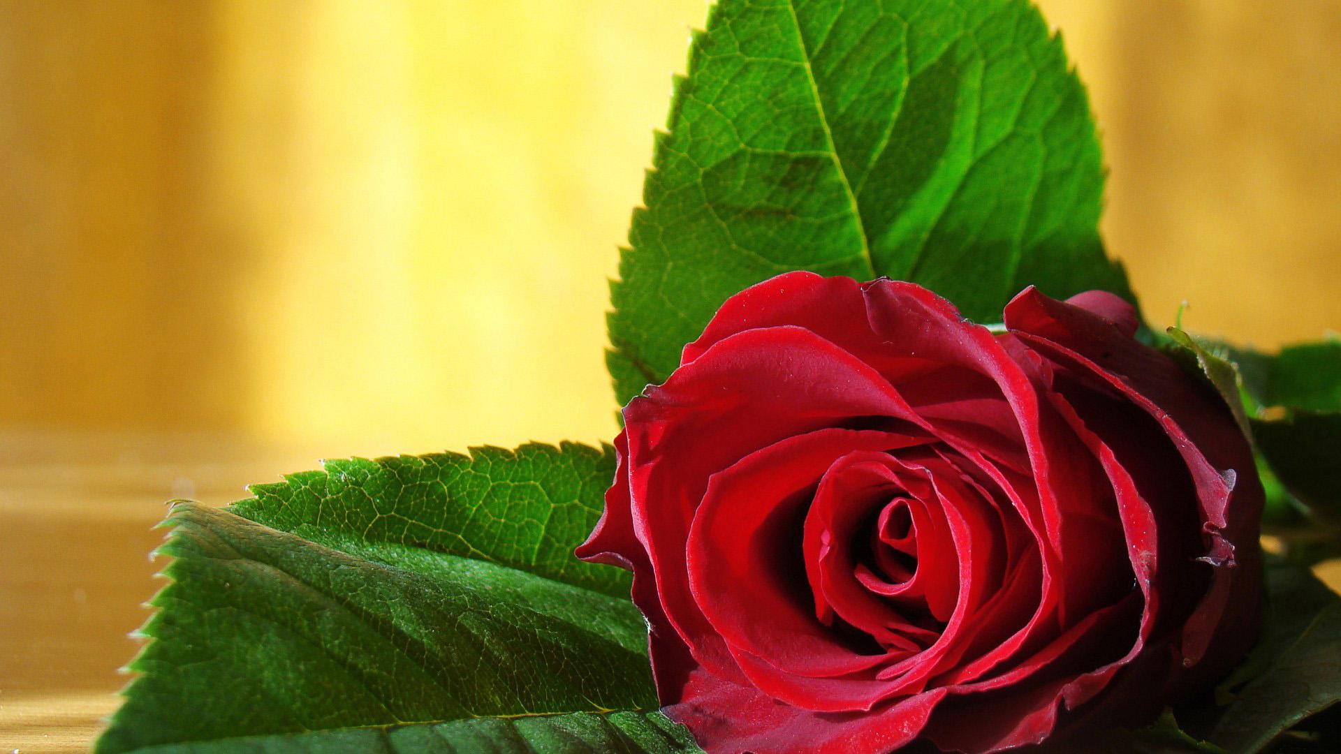 Красивые обои розы на рабочий стол - интересная коллекция 9