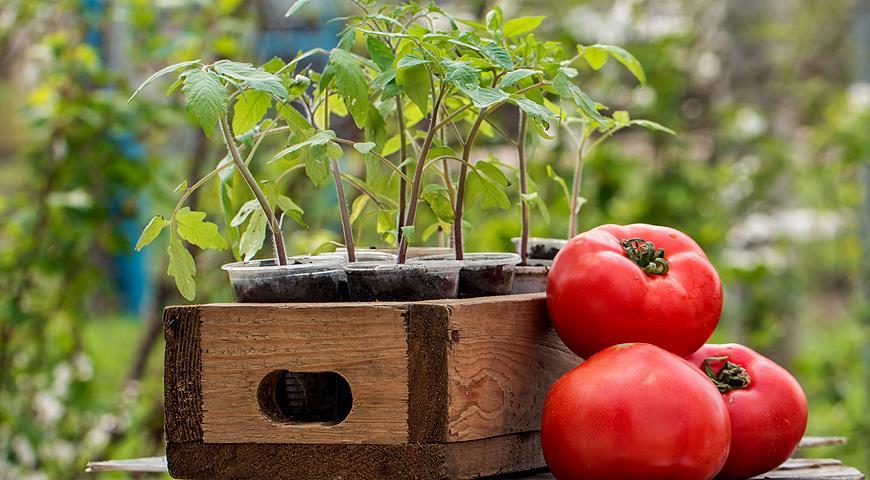 Основные особенности посадки томатов - уход и посадка растения 1