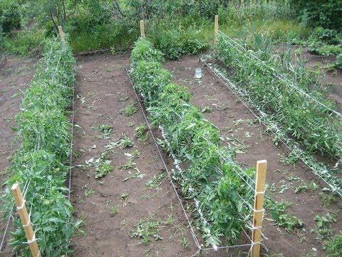 Основные особенности посадки томатов - уход и посадка растения 2
