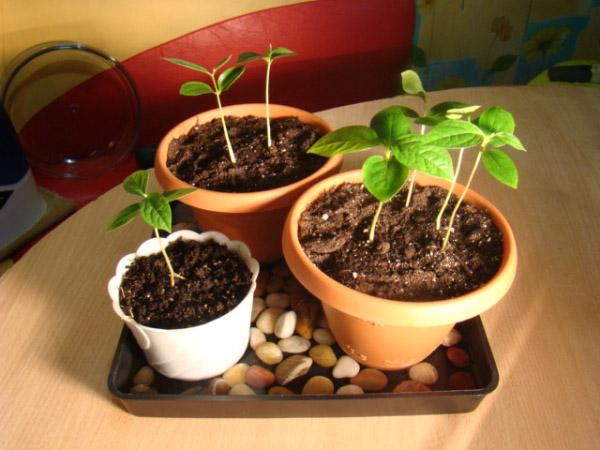 Как вырастить персик из косточки в домашних условиях - техника, правила 3
