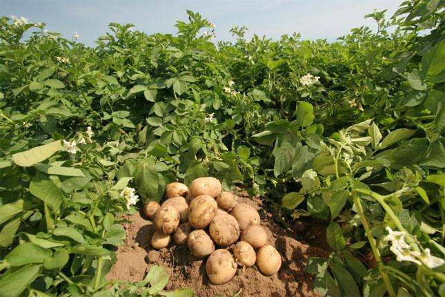 Как выращивать картофель в мешках в саду - основные способы 1