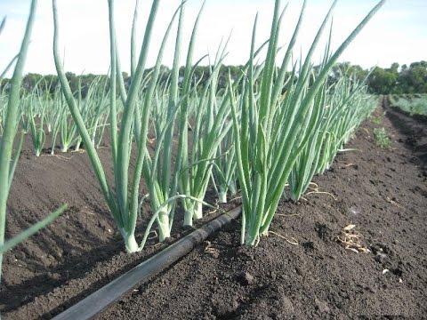 Как правильно выращивать различные виды лука - репчатый лук, порей, шалот 1