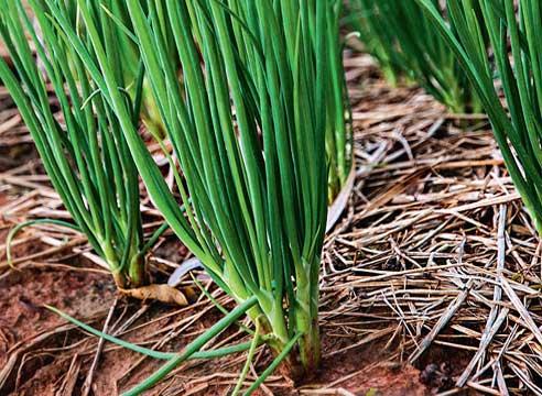 Как правильно выращивать различные виды лука - репчатый лук, порей, шалот 2