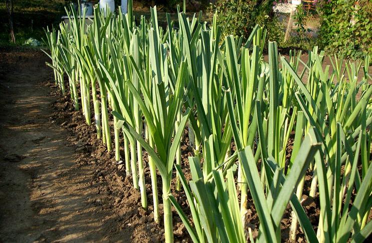 Как правильно выращивать различные виды лука - репчатый лук, порей, шалот 3