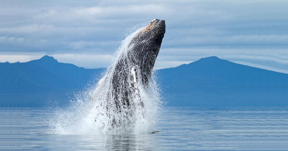 Киты - фотографии китов. Удивительные и красивые фото китов 2