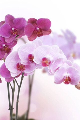 Орхидеи красивые картинки на телефон на заставку - подборка 20 фото 10